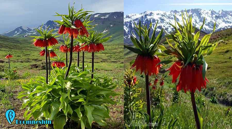 لاله واژگون | گل افسانه ای ایران